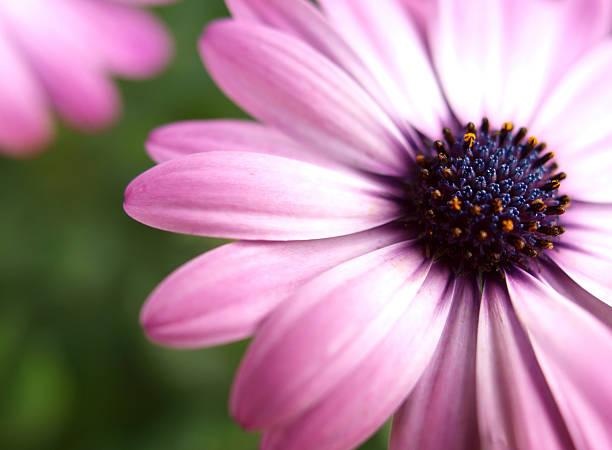 Rosa Blumenmuster-osteospermum – Foto
