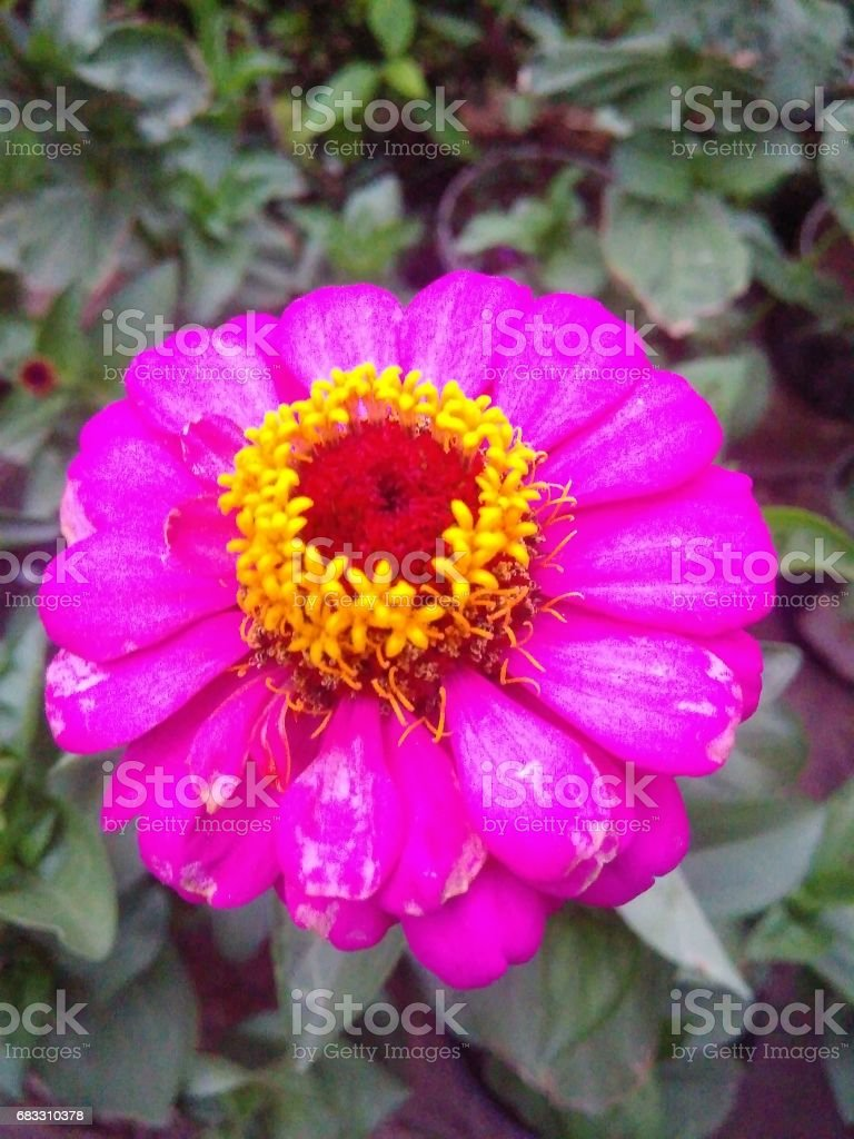 Pink flower foto stock royalty-free