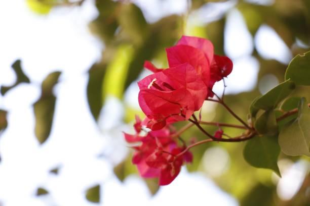 pembe çiçek - serpilguler stok fotoğraflar ve resimler