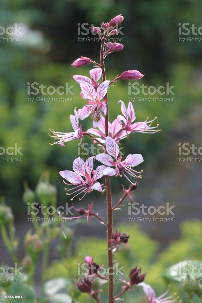 Fleur rose - Photo