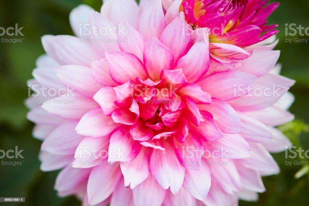 Rosa blomma - Royaltyfri Blomkorg - Blomdel Bildbanksbilder