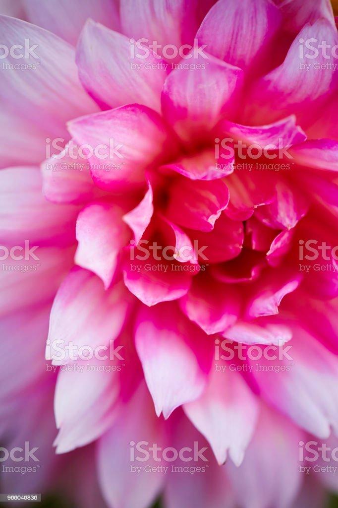 Розовый цветок - Стоковые фото Без людей роялти-фри