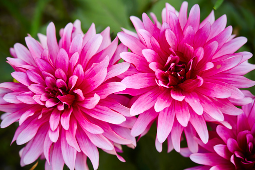 Rosa Blomma-foton och fler bilder på Blomkorg - Blomdel