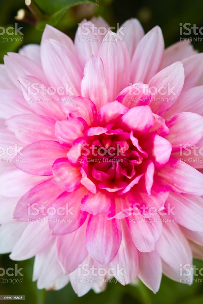 Pink flower - Royalty-free Beauty Stock Photo