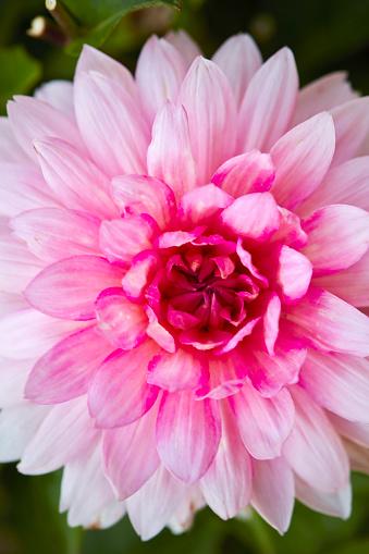 Rosa Blumenmuster Stockfoto und mehr Bilder von Baumblüte