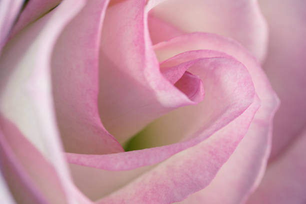 Royalty Free Rose Blanche Pictures Images And Stock Photos Istock