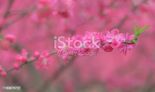 istock Pink flower plum blossoms in Botanic garden Park in Wuhan city, Hubei China. 1150675722