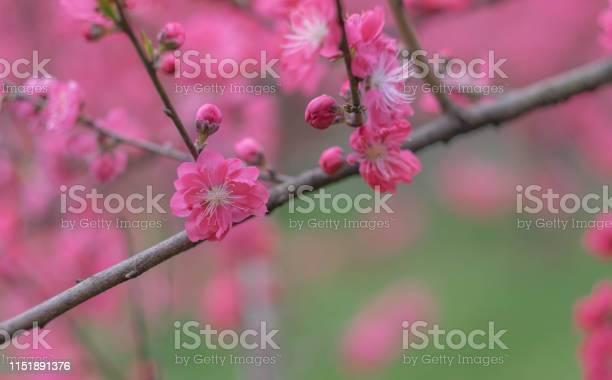 Pink flower plum blossoms in botanic garden park in wuhan city picture id1151891376?b=1&k=6&m=1151891376&s=612x612&h=xcgq48fz23iaahizs8ddly8aa5m tvo1pun2dpa84tc=