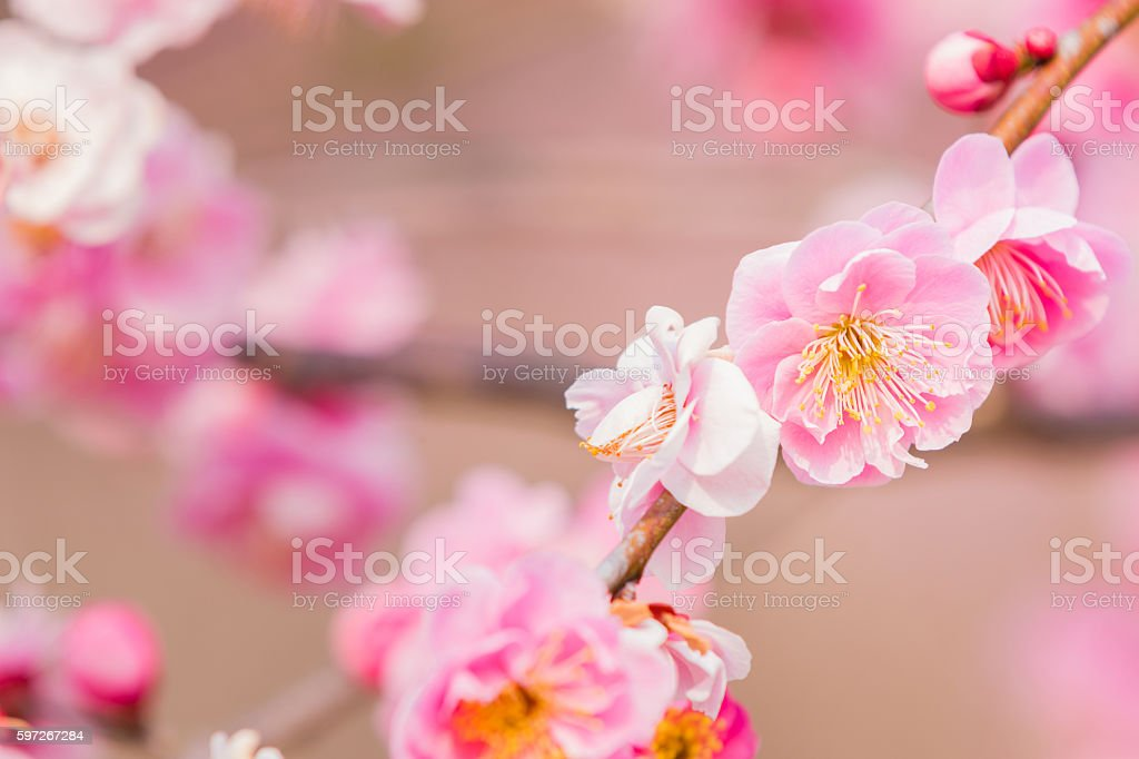 Pink flower ume blossoms. royalty-free stock photo
