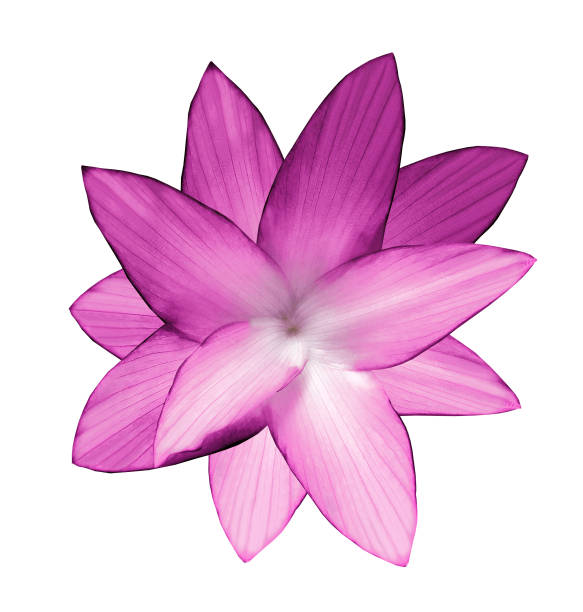 Royalty free beautiful pink lotus flower bouquet isolated on white pink flower white isolated background with clipping path closeup no shadows for mightylinksfo