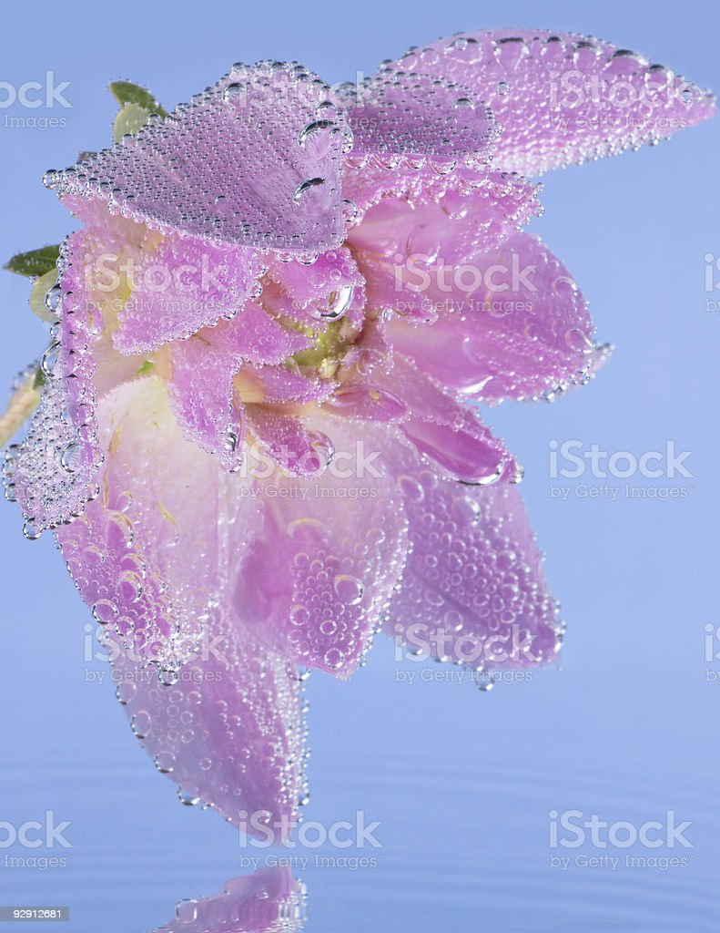 Pink flower  with air bubbles royalty-free stock photo