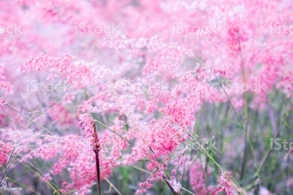 Pink flower (Melinis repens) with blurred background for valentine's day stock photo