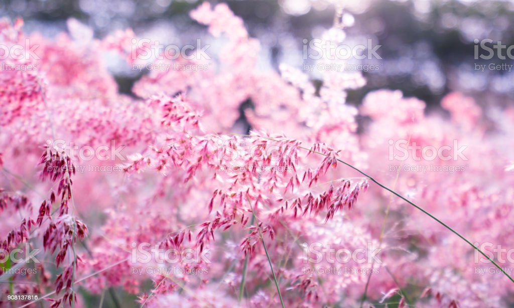 Pink flower (Melinis repens) with bokeh background for valentine's day stock photo