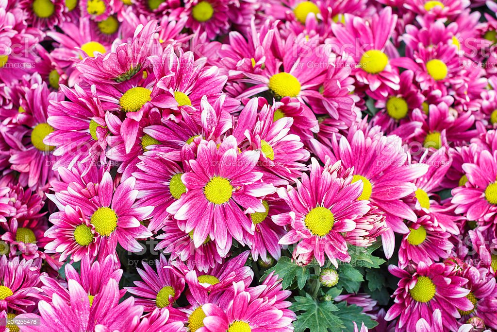 Pink flower with long thin petals a yellow center stock photo more pink flower with long thin petals a yellow center royalty free stock photo mightylinksfo Image collections