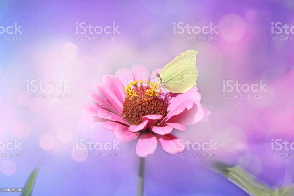 a2fc4e3751ccd Fleur rose avec un papillon jaune sur un fond lumineux fée mauve. Zinnia  fleurs (