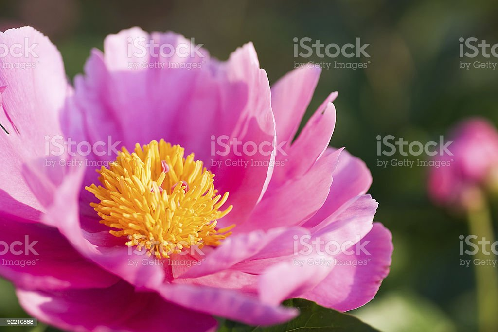 Pink flower yellow center stock photo more pictures of close up pink flower yellow center royalty free stock photo mightylinksfo Image collections