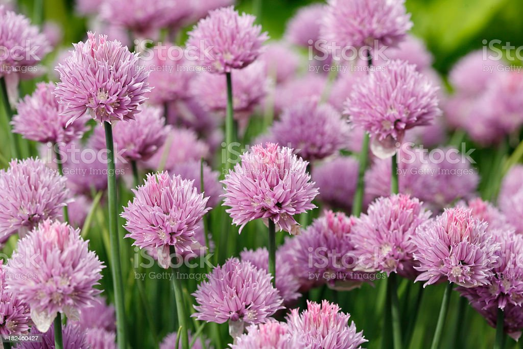 Pink Flowering Chives royalty-free stock photo