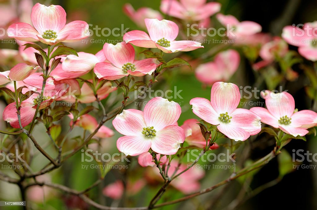 Pink Flowering Dogwood Blossom stock photo