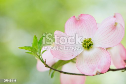 Pink flowering dogwood blossoms with an out of focus background of colorful azaleas.