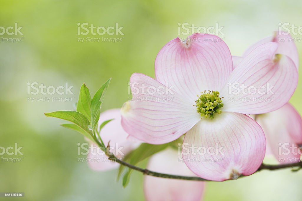 Pink flowering dogwood blossoms stock photo