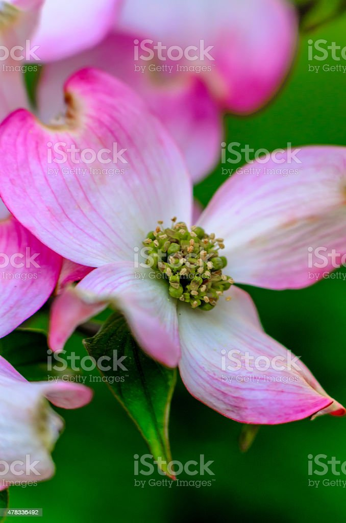 Pink Flowering Dogwood stock photo