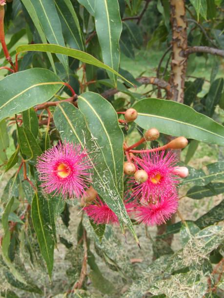Pink flowering gum stock photo