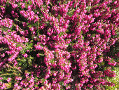 Pink flowering Heather (Erica)