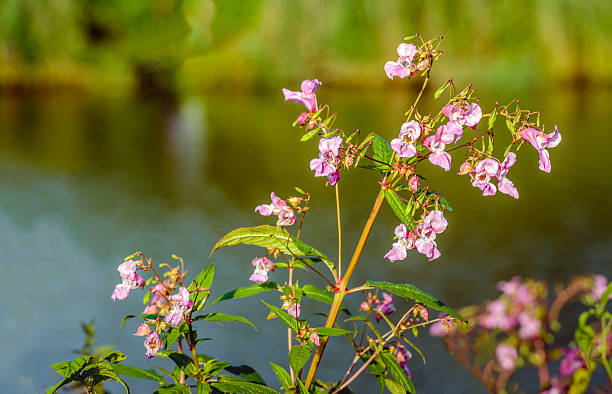 Pink flowering Himalayan Balsam plant on the waterfront stock photo