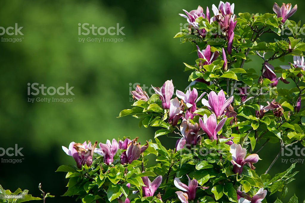 Pink Flowering Magnolia Bush Stock Photo More Pictures Of Blossom