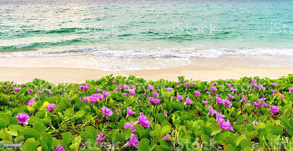 pink flowers and beach in the morning sunrise
