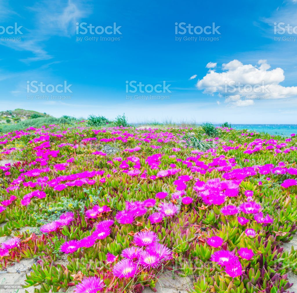 Pink flowers and blue sky in Platamona beach - Royalty-free Beach Stock Photo