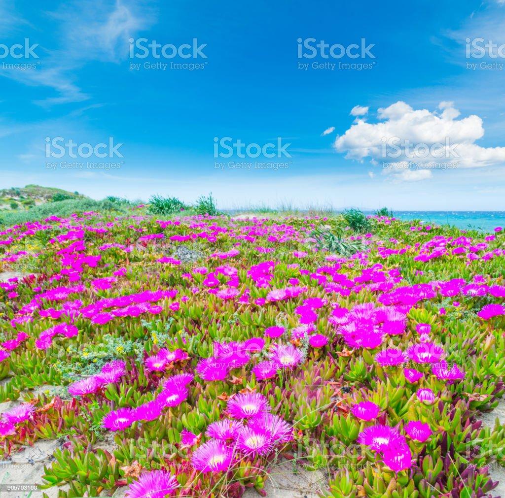Roze bloemen en blauwe hemel in Platamona strand - Royalty-free Blauw Stockfoto