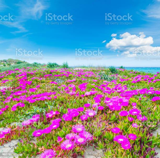 Pink Flowers And Blue Sky In Platamona Beach Stock Photo - Download Image Now