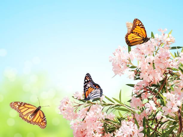 Pink flowers and monarch butterflies picture id1133623716?b=1&k=6&m=1133623716&s=612x612&w=0&h=qlbazintphwqv3m7xqpq6ekxefm m7qhdxnyhtxwefs=