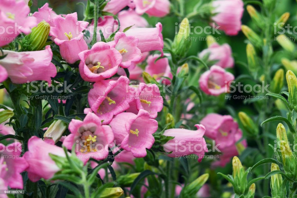 Pink flowers bell dot the variety campanula punctata stock photo pink flowers bell dot the variety campanula punctata royalty free stock photo mightylinksfo