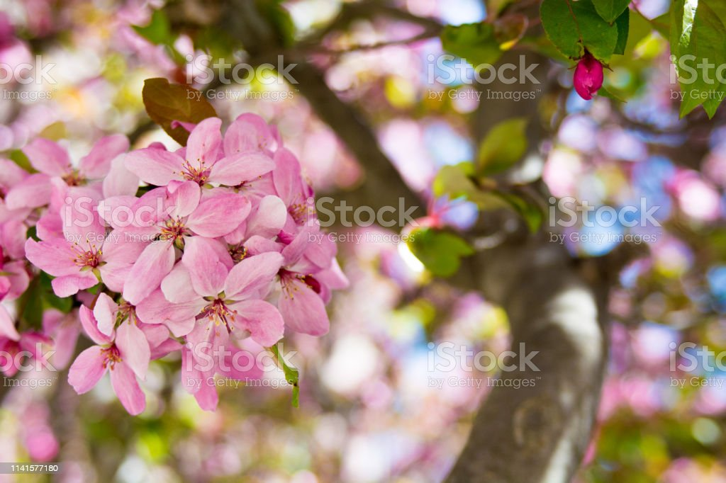 Pink Flowers bloom on a tree stock photo