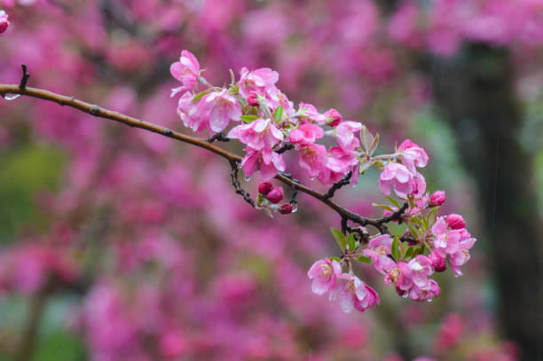 Pink Flowers Blooming On Tree During Springtime stock photo