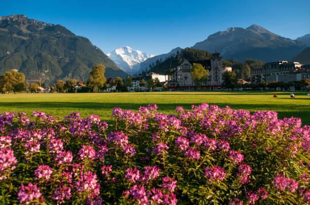 rosa blüten bush, grünen wiese landewiese park und schweizer alpen schnee berg jungfrau - hotel bern stock-fotos und bilder