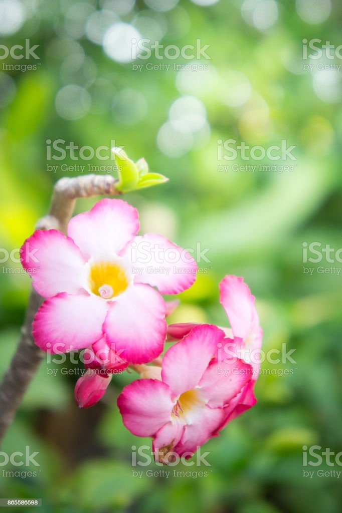pink flowers daisy nature in the garden background stock photo