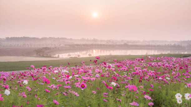 Pink flowers field background.Beautiful cosmos flowers blooming in garden with morning sunlight stock photo