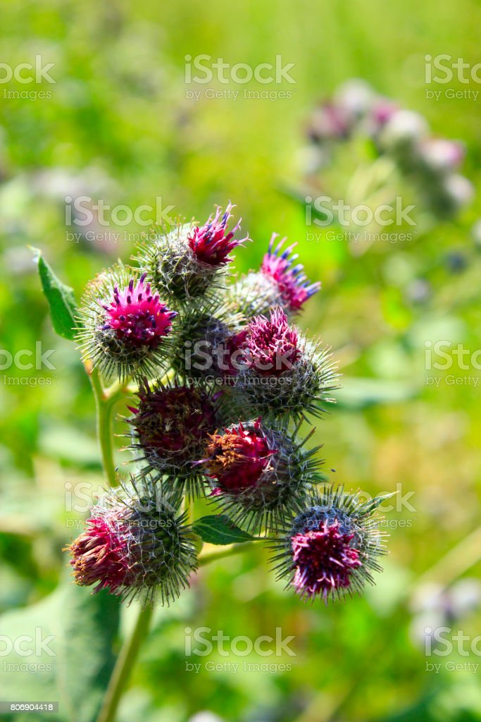 Pink flowers, fruits of burdock, agrimony in summer stock photo