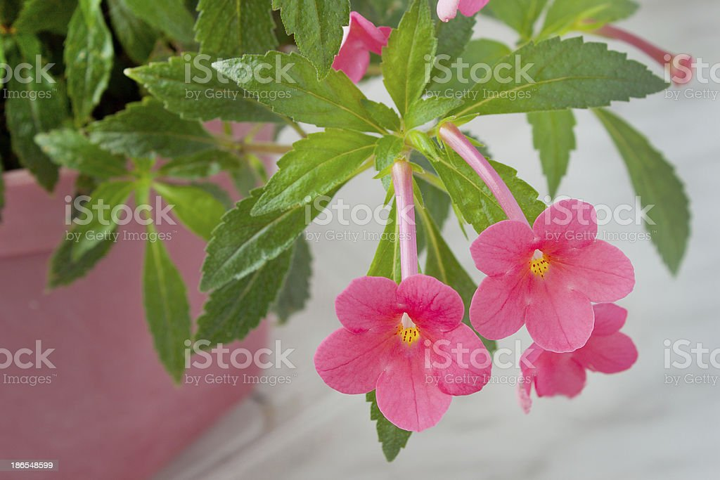 Pink flowers home plants royalty-free stock photo