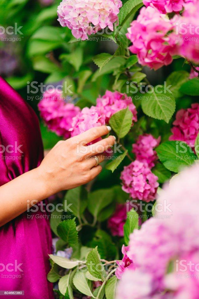Pink flowers hydrangeas in female hands. Large hydrangea bushes in...