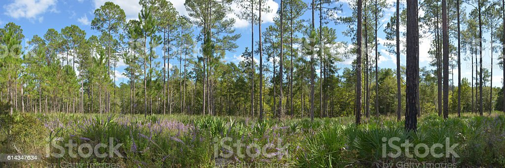 Pink flowers in florida pine forest understory stock photo more fire natural phenomenon forest pine tree pine woodland tree pink flowers mightylinksfo