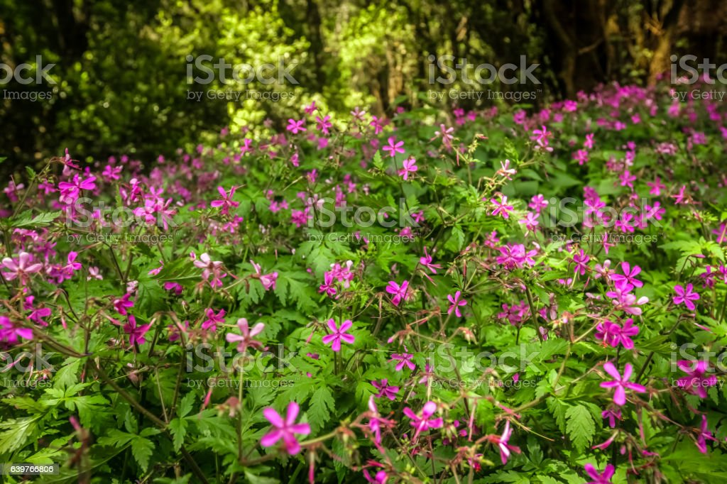 Pink flowers in forest in Garajonay national park stock photo