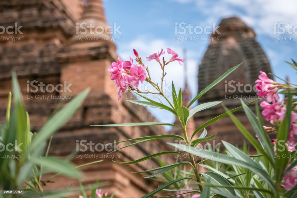 Pink Flowers in front of Unnamed Temple, Bagan, Myanmar (Burma) stock photo