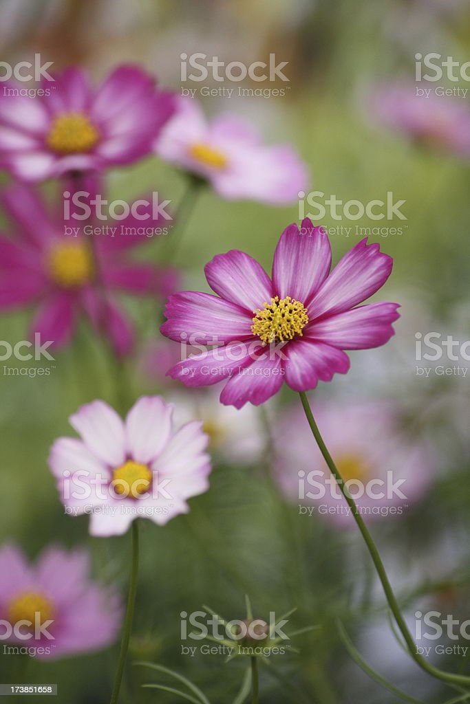 Pink Flowers in Spring royalty-free stock photo