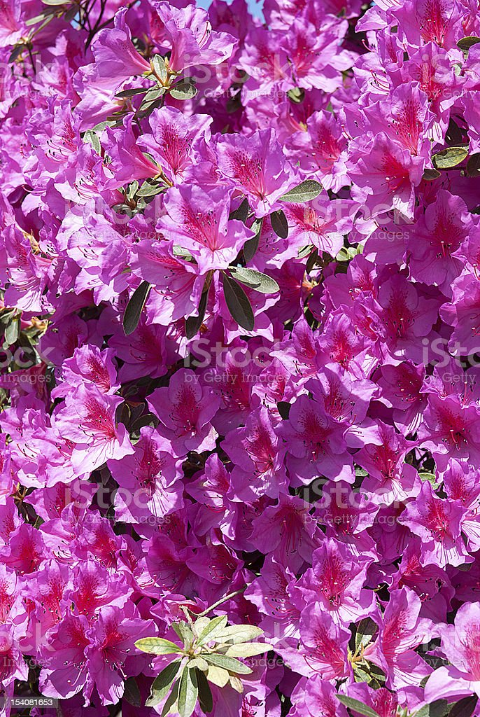 Pink flowers in the sun royalty-free stock photo