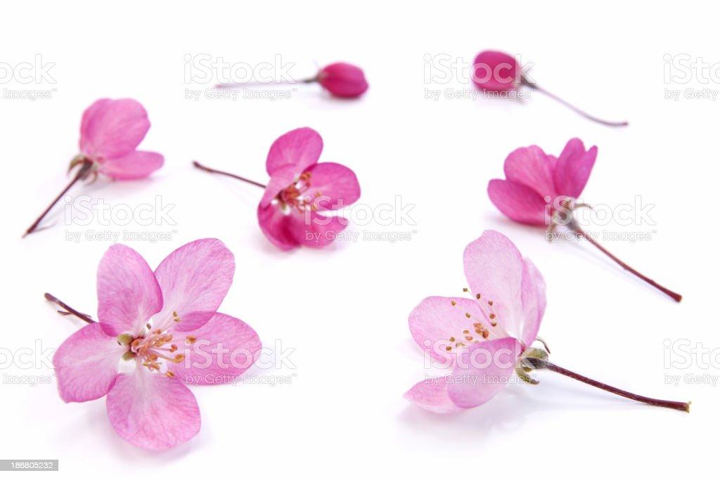 Rosa Blumen izolated – Foto