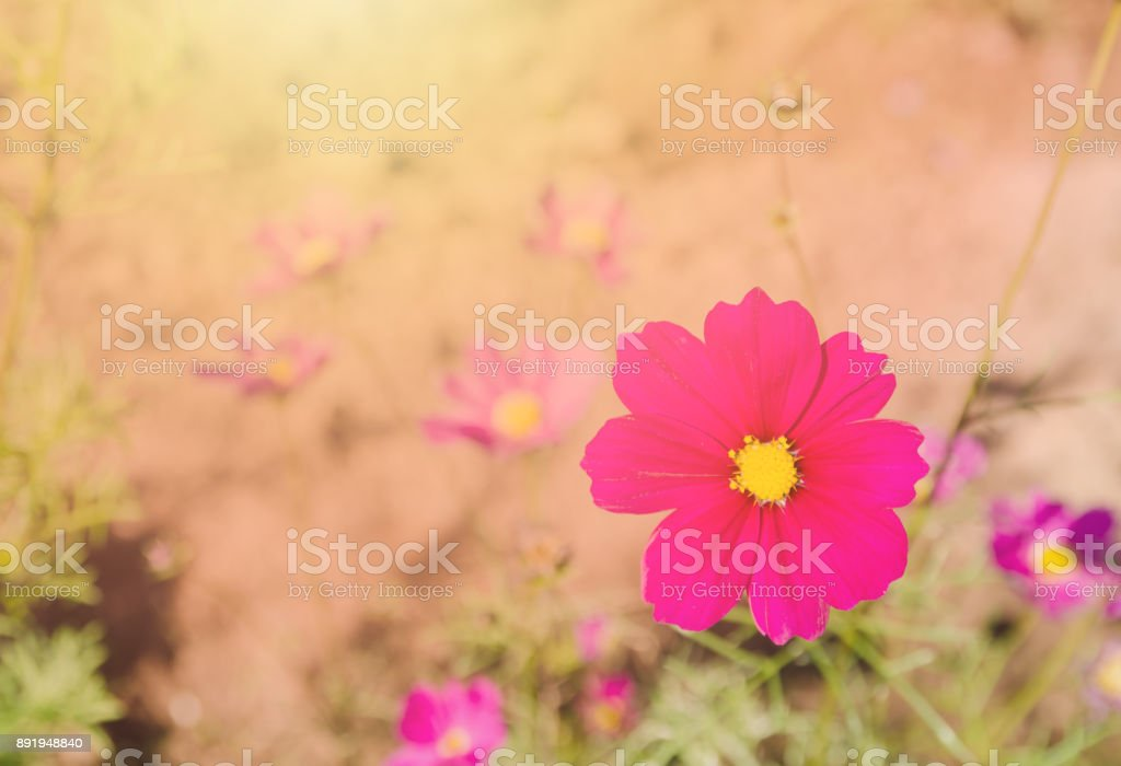 Pink flowers Mexican Diasy stock photo